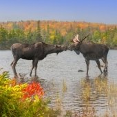 Two moose toughing snouts on Isle Royal