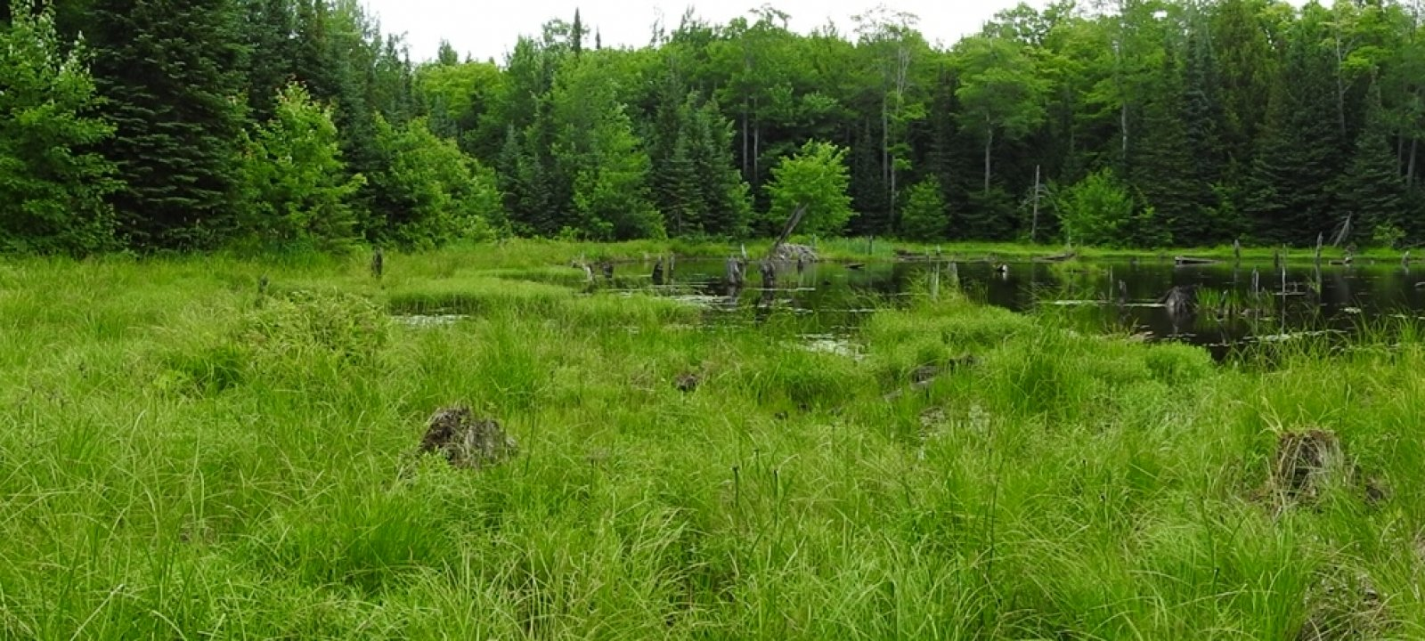 Beaver pond near Gratiot Lake, where KISMA has been removing European marsh thistle (Cirsium palustre) for four years with great results