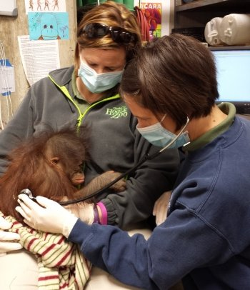 Doctor Erika Crook using a stethoscope on a baby orangutan.