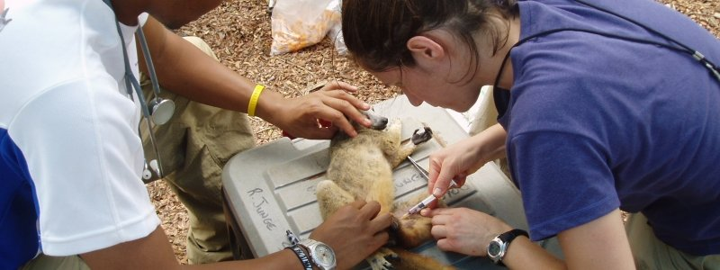 Doctor Erika Crook drawing blood from a lemur.