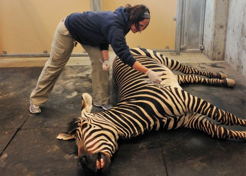 Doctor Erika Crook taking care of an anesthetized zebra.