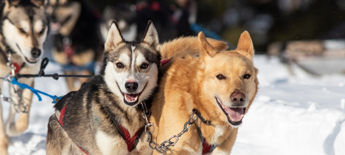 Two sled dogs.