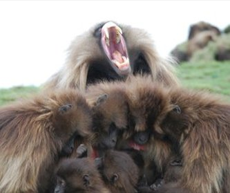 Gelada family huddled together.