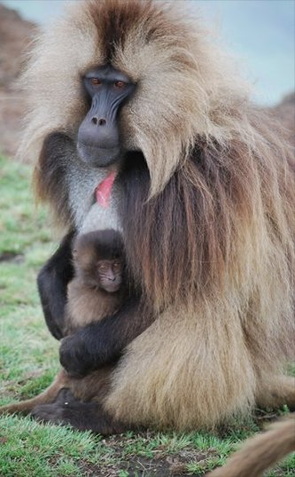 A male gelada clutches his infant.