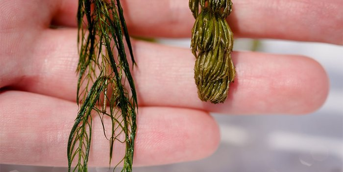 Eurasian Watermilfoil thriving in Lake Huron last summer.
