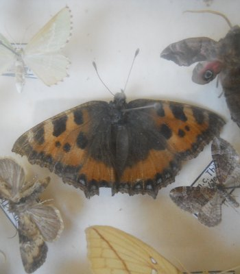 The small tortoiseshell butterfly (center) is the specimen Thomas Werner caught as a boy that spurred his lifelong chase and study of winged creatures.