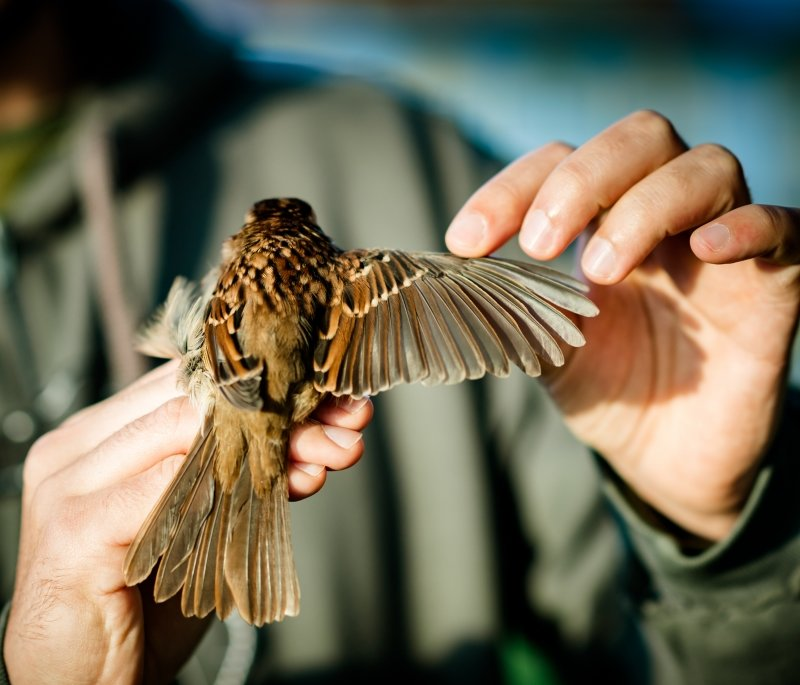 Bird with wing extended held in researcher's hands.