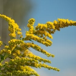 The yellow flowering top of a goldenrod plant glows in sunlight.