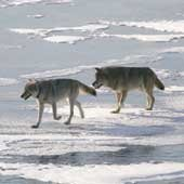 Two wolves waling in the snow.