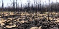 Dead trees in a burned peatland.