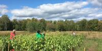 People stand in a field of waist-high tobacco plants, using shears to pick leaves.