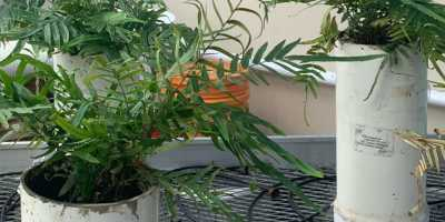 Guest Blog: Arsenic Spirals and the Plants That Dig Them