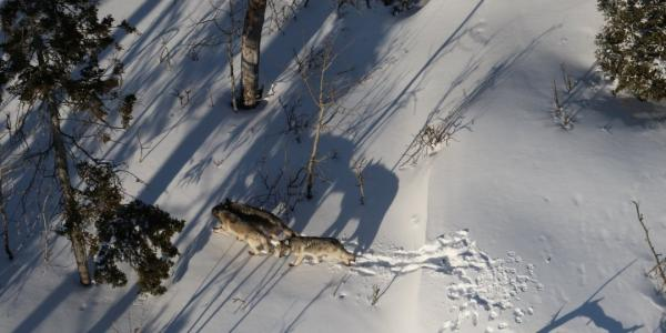Isle Royale Winter Study: Fewer Wolves, Fewer Moose