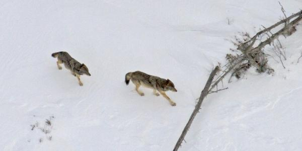 The male wolf of the native pair died in October 2019 and this year's Winter Study       will document new social structures on the island. Credit: Rolf Peterson