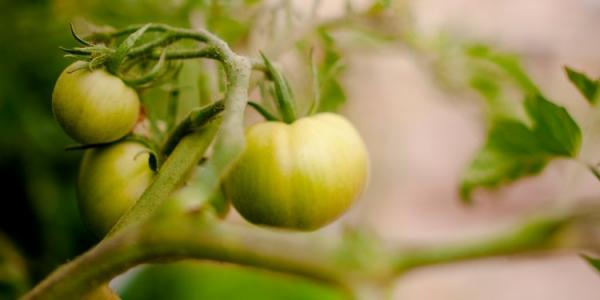 Researchers at Michigan Tech have used gene editing to shut down microRNAs within       tomatoes, rice and maize that allow them to grow bigger crops.