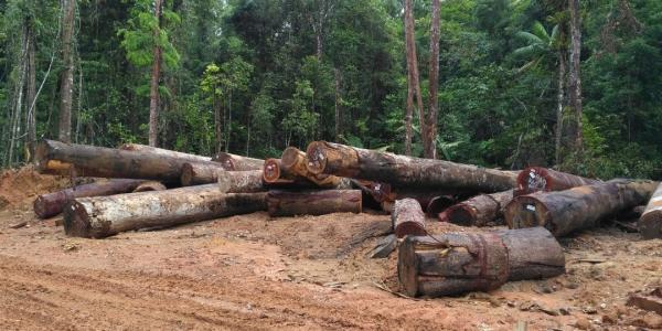 Tropical hardwood logs scattered on the ground. Image Credit: Xinfeng Xie