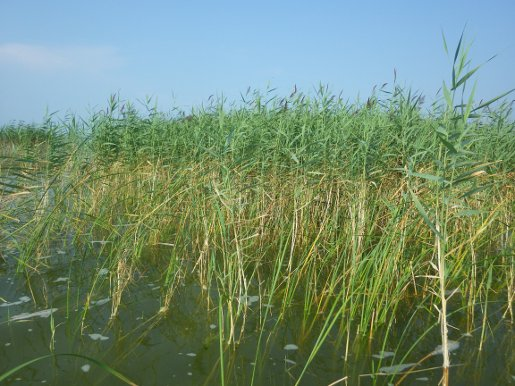 Invasive Species Phragmites