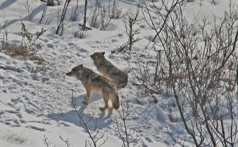According to the annual report the Isle Royale wolves are no longer serving their ecological function