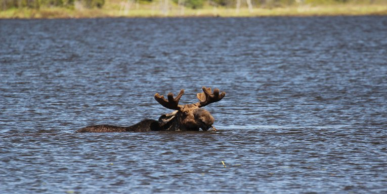 As the wolf population remains at two, the moose population is expected to boom.