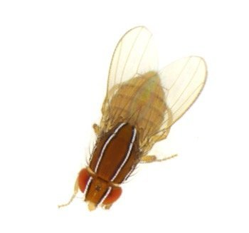Fruit flies come in many stripes and colors, this Zaprionus indianus is from Rochester, New York and prefers banana traps.