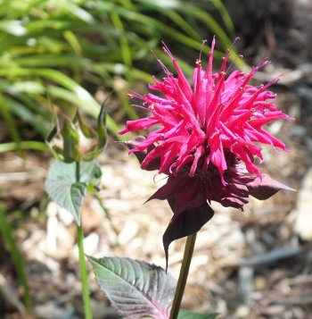 Monarda fistulosa, common name Bergamot or bee balm, in the west sector of the garden.