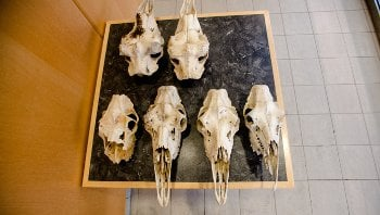 moose skulls on a table