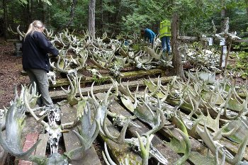 moose skulls on Isle Royale