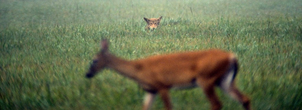 A red wolf hiding in tall grass watches a deer.