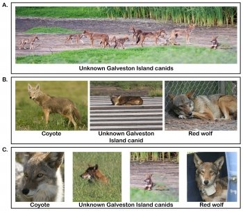 Composite image of eight photographs of coyotes, unknown Galveston Island canid and red wolves.
