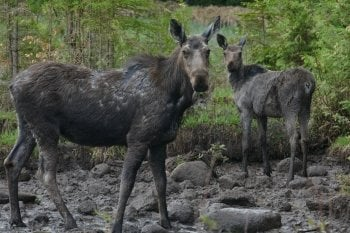 Adult moose cow with her calf surrounded by forest greenery