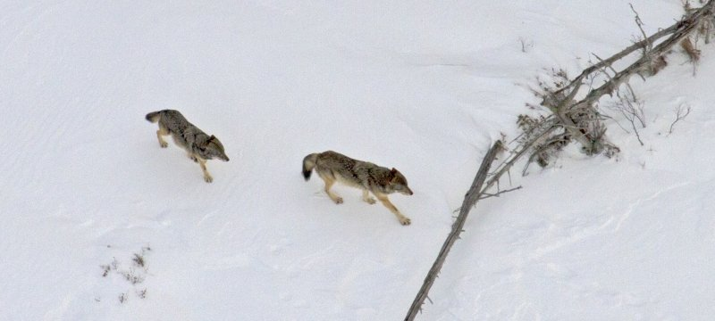 two wolves walking on snow