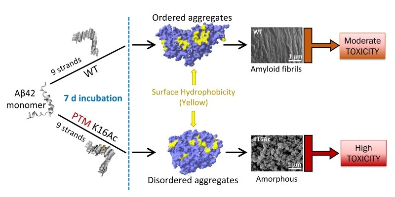 scientific chart showing the difference in shape and toxicity between fibrils and amorphous protein aggregates: amyloid beta monomer, stretched in nine strands form aggregates