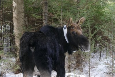 A moose with a radio collar around its neck.