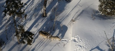 Three wolves walk in the snow.