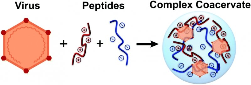 A graphic that shows how a virus combined with polypeptides forms a complex coacervate.