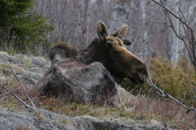 An emaciated moose lying down, its fur in tatters.