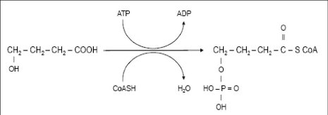 Initial steps in metabolism of 4-HB.