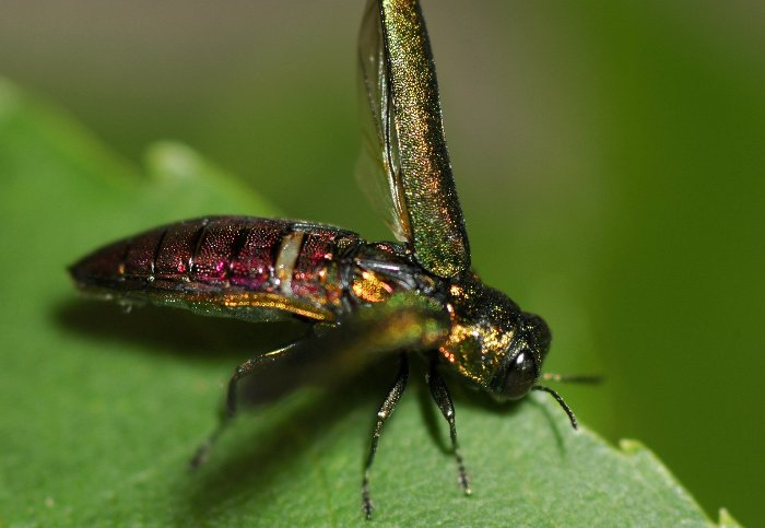 The emerald ash borer is an invasive insect species that is destroying ash trees in the Upper Peninsula of Michigan