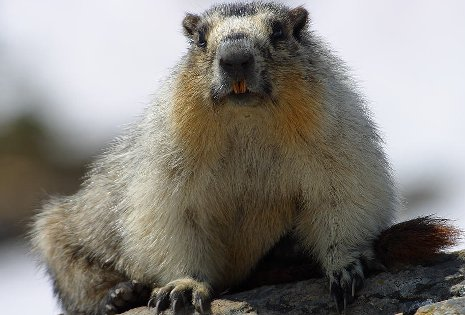 Study of hibernation in marmots could help solve puzzle of disuse osteoporosis for astronauts and the bedridden.
