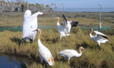 Eva Szyszkoski tending to the whooping cranes in her crane costume,