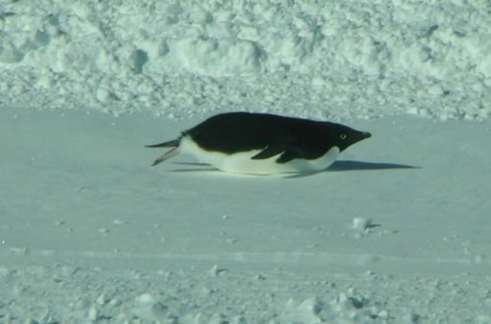 A penguin at McMurdo