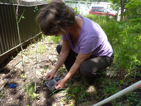 Kathy Roberts retrieves bugs from a pitfall trap.