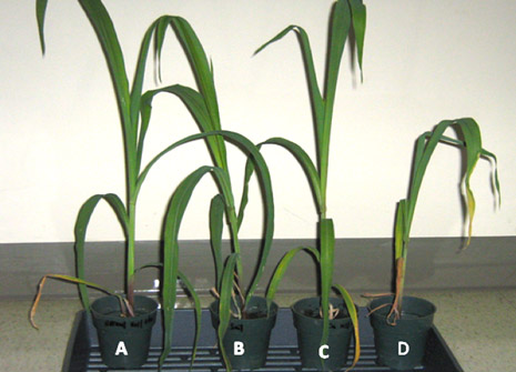 Maize grown in soil with copper and bacteria (C) appears as vigorous as the control plant (A).