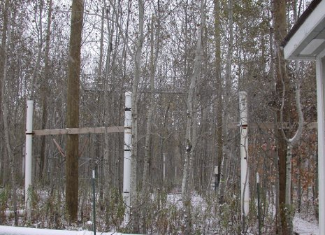 An Aspen FACE plot before it was harvested in 2009.