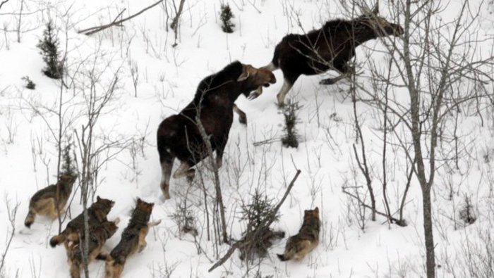 Isle Royale wolves chasing their dinner.