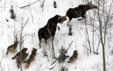 Wolves chasing their dinner.