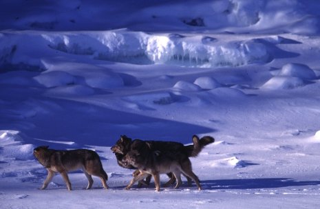Wolves at Isle Royale National Park