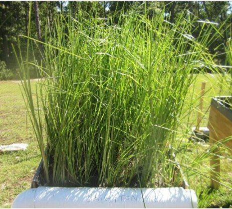 Vetiver grass growing in lead-contaminated soil in San Antonio, Texas.  Ramesh Attinti photo