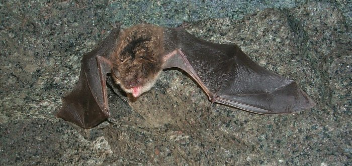 Little brown bats help control insect pests.