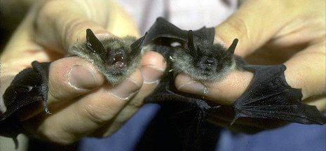 Little brown bats are aptly named.